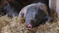 Closeup of a black and white pig sleeping in a pen being attacked by flies - stock footage