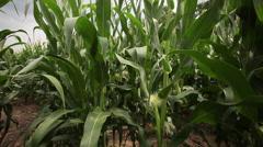 Slow pan across a green corn field, 1080p HD farming - stock footage
