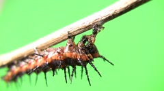 Cannibal caterpillar eating body remains good Stock Footage