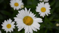 Closeup of a white daisy flower Stock Footage
