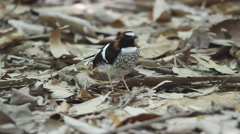 Stock Video Footage of chestnut-naped forktail bird
