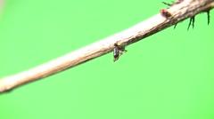Cannibal caterpillar static stub - stock footage