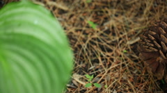 A pinecone on the ground Stock Footage