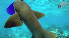 POV a snorkeler touches the back of a small nurse shark in the Caribbean Stock Footage