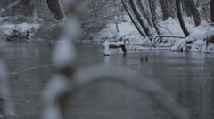 Ducks swim in a snow covered creek Stock Footage
