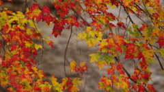 Pan across fall leaves in front of a stream of water, 4K UHD Stock Footage