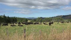 Cattle, cows in field, North Island, New Zealand Stock Footage