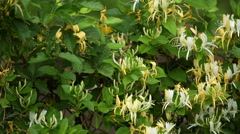 A patch of yellow and white honeysuckle shrubs, closeup pan - stock footage