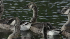 Canada geese swimming in water Stock Footage