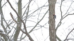 A woodpecker pecks on a tree in the woods Stock Footage