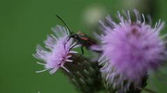 Large milkweed bug, Oncopeltus fasciatus, on a purple wildflower Stock Footage