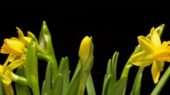 Time lapse miniature daffodil flowers blossoming Stock Footage