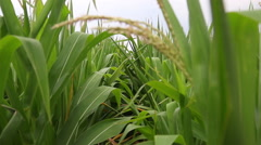 Wide green corn stalk leaves blowing in the wind, 1080p HD with natural sound - stock footage