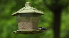 A black-capped chickadee (Poecile atricapillus) eats from a bird feeder Stock Footage