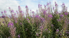 Scottish Heather flowers, wide shot in 1080p HD Stock Footage