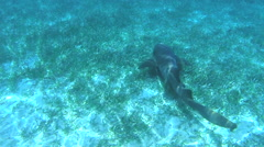 Swimming with a nurse shark on the bottom of the Caribbean Sea Stock Footage