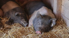 A group of black and white pigs sleep in a pig pen Stock Footage