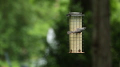 A male tufted titmouse (Baeolophus bicolor) eats from a bird feeder Stock Footage