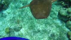A nurse shark darts towards the camera and then swims away - stock footage
