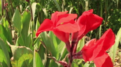 Beautiful Red Flowers , Pan Around, Green Background Stock Footage