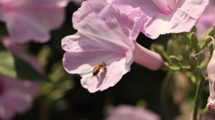 Flower Pollination by Bee, Insect, Purple Pink Stock Footage