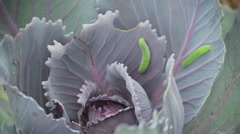 Green inchworms crawling on cabbage time-lapse Stock Footage