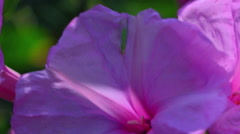 Purple Pink Flower Blowing In the Wind Stock Footage
