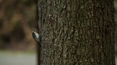 A hairy woodpecker (Picoides villosus) pecks on a tree Stock Footage