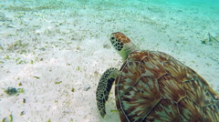 Closeup swimming with a sea turtle in the Caribbean Sea, 1080p Belize tourism Stock Footage