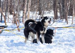 Stock Photo of Draught dogs in the winter on Kamchatka