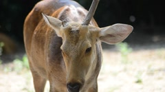 Female Sambar Deer (Rusa Unicolor) In Captivity - stock footage