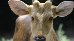Female Sambar Deer (Rusa Unicolor) In Captivity Stock Footage