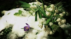 Melt snow with snowdrops, time lapse, 4k Stock Footage