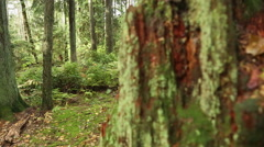 Dolly shot Pacific Northwest Rainforest Stump Stock Footage