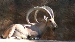 LA Zoo Ibex resting Stock Footage