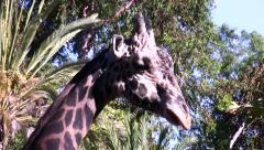 LA Zoo giraffe head shot ease-in Stock Footage