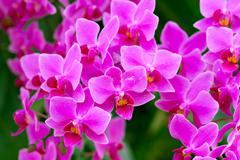Orchids in the garden (Phalaenopsis Hybrid) - stock photo