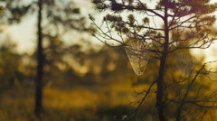 Cobwebs in pines with morning dew during a sunrise in marshland - stock footage
