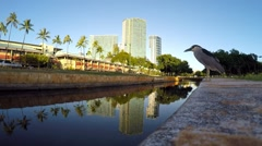 Black-Crowned Night Heron close up ala moana park and street Stock Footage