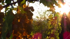 White grapes in vineyard Stock Footage