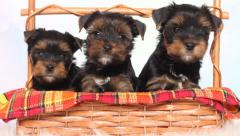 Three puppies Yorkshire terrier Stock Footage