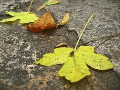 Yellow fallen leaves on the dark ground - stock photo
