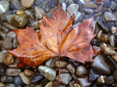Fallen red leaf on the shore Stock Photos