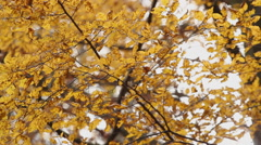 Beech wood at autumn - backlit Stock Footage