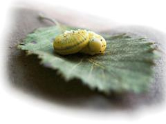 Caterpillar laying on the green fallen leaf Stock Photos