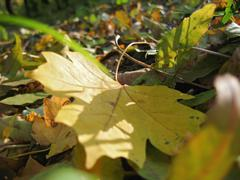 Yellow fallen leaf of acer on the green grass - stock photo