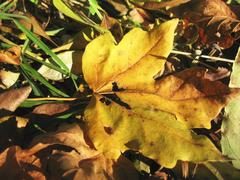Yellow fallen leaf of acer on the ground Stock Photos