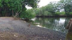 Ala wai river birds Stock Footage