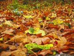 Carpet from the fallen maple leaves on the ground Stock Photos
