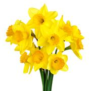 Blossoming daffodils isolated on white - stock photo